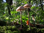 Garlic Parachute (Marasmius alliaceus)